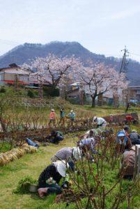 桜を愛でながら花壇のお手入れ
