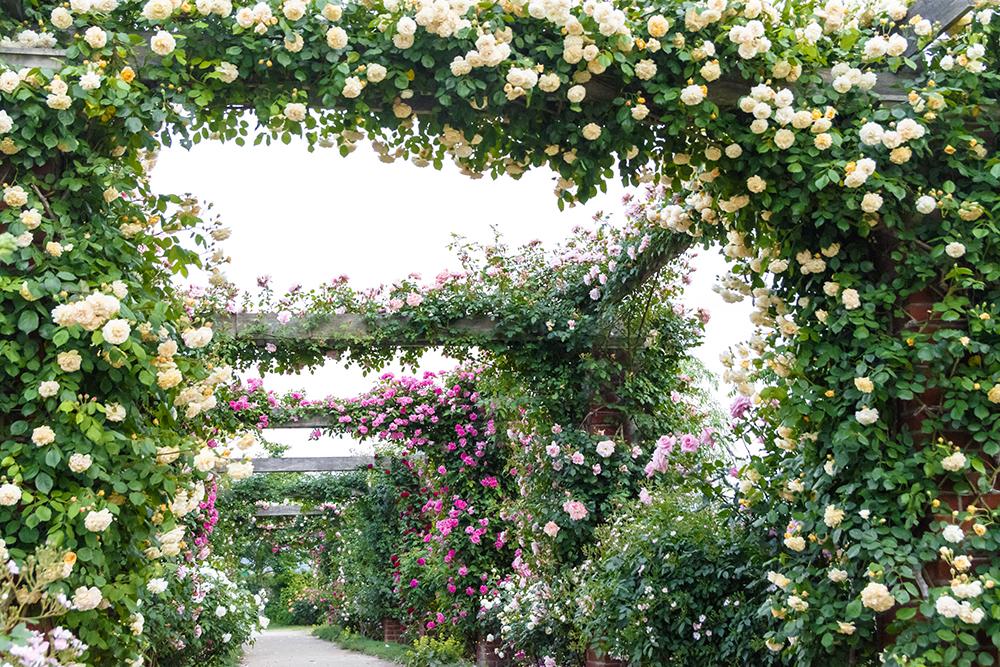 《美しいバラの回廊》