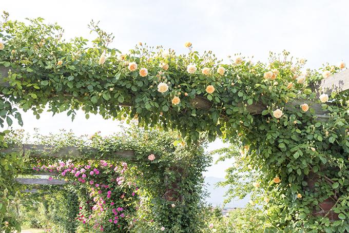 パーゴラのバラたち
