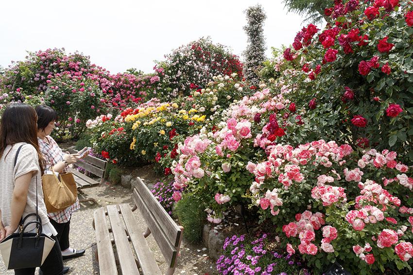 【ますます見頃のバラたち】