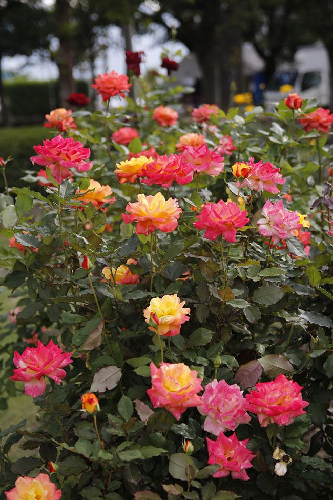 〈咲き誇るリオサンバ〉