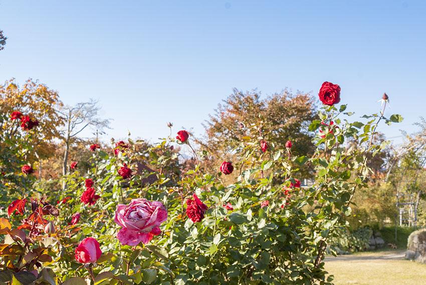 《紅葉に映える秋バラ》