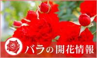バラの開花情報